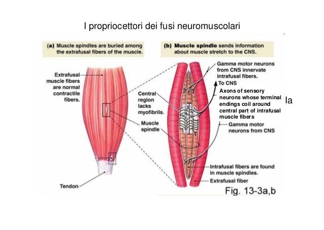 fusi neuromuscolari stretching pnf