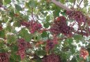 Vitis vinifera: caratteristiche ed effetti