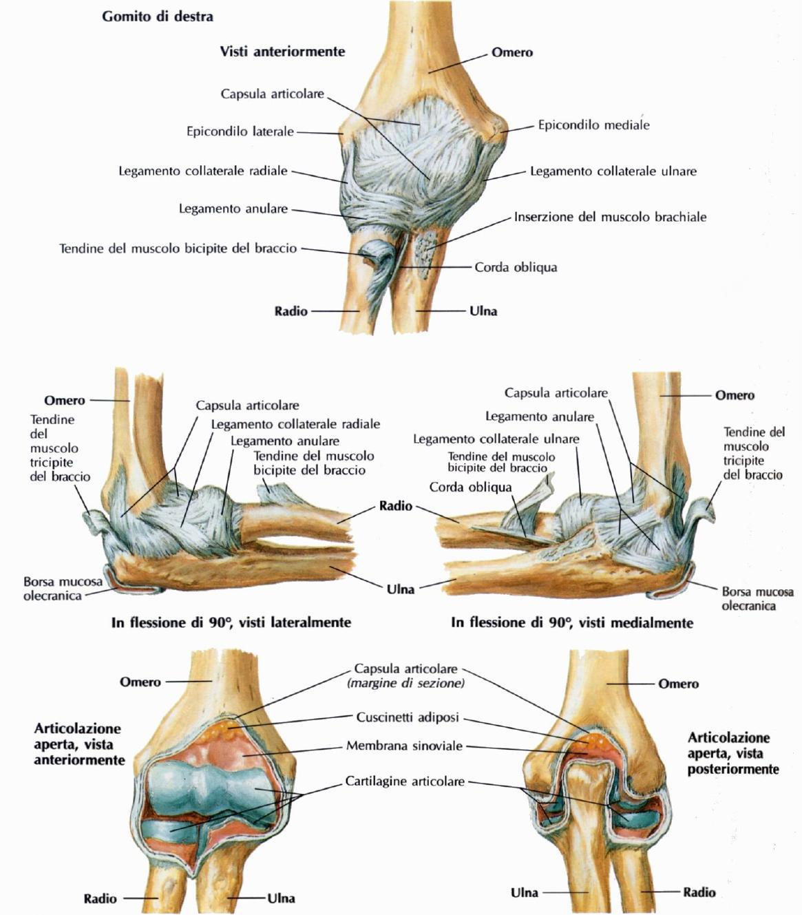anatomia gomito