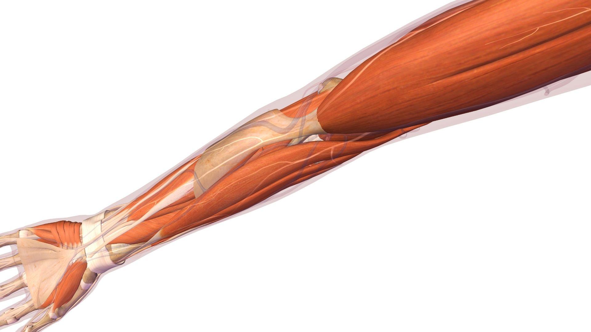 muscoli gomito