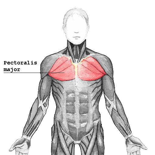 Pectoralis_major