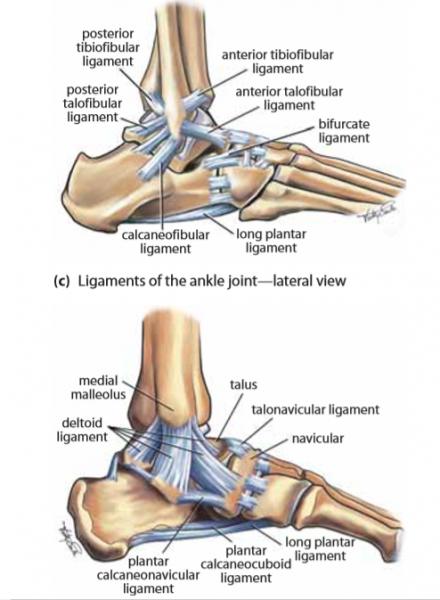 legamenti caviglia