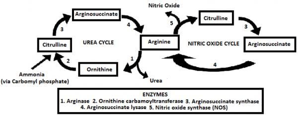arginina ossido nitrico