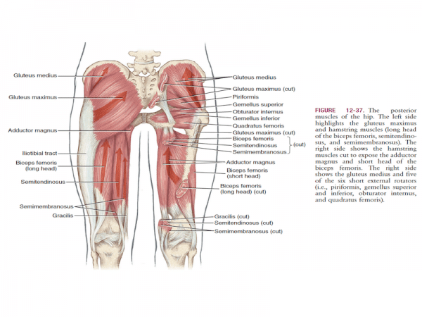 muscoli ischiocrurali