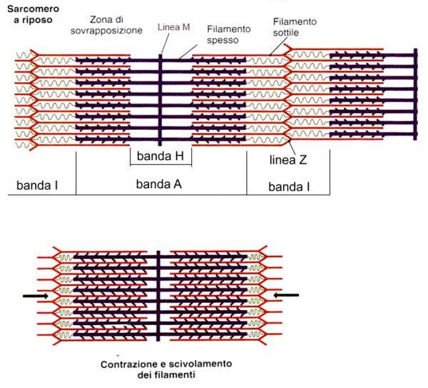cellula muscolare