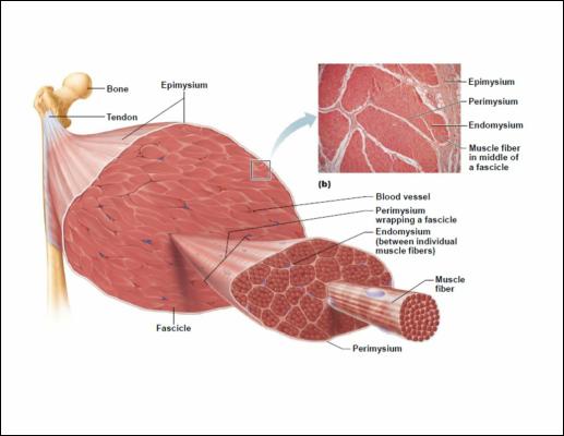muscolo anatomia