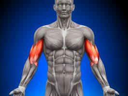bicipite brachiale